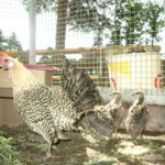 Huhn als Pfauenmama