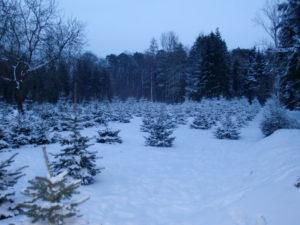 Baumkulturen im Schnee